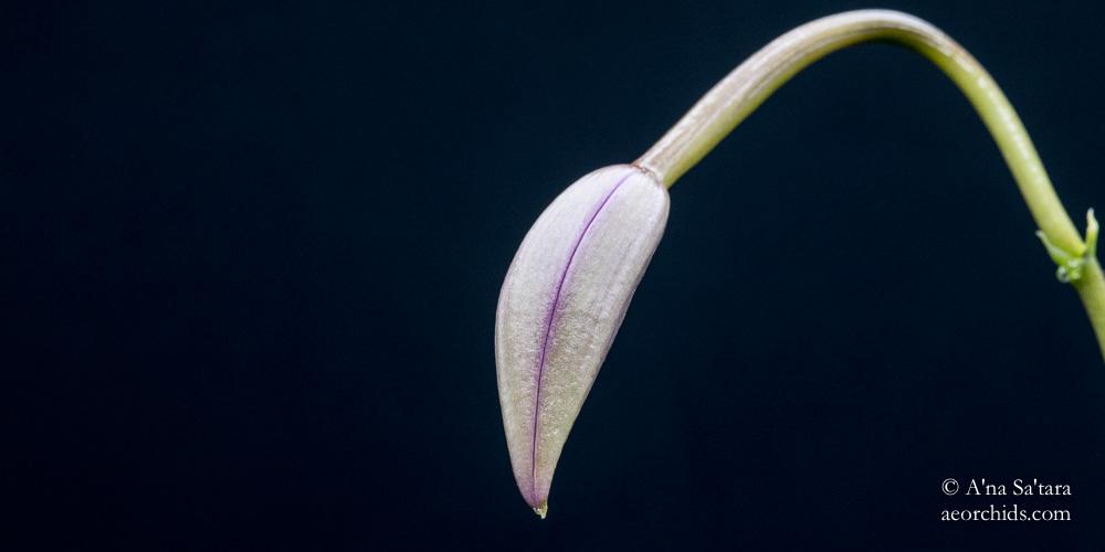Laelia (Cattleya) fidelensis