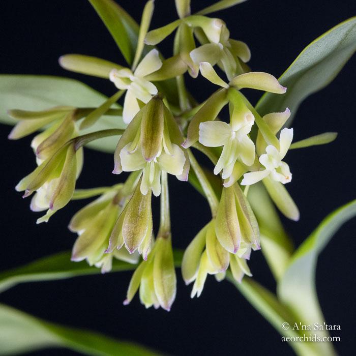 Epidendrum chlorops
