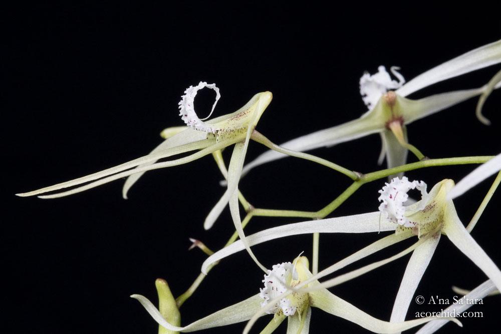 Dendrobium teretifolium (Dockrillia teretifolia)