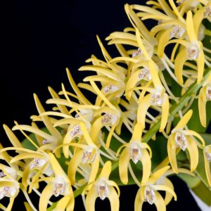 Dendrobium speciosum 'Aussie Gold'