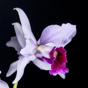 Laelia purpurata SanBar Venosa