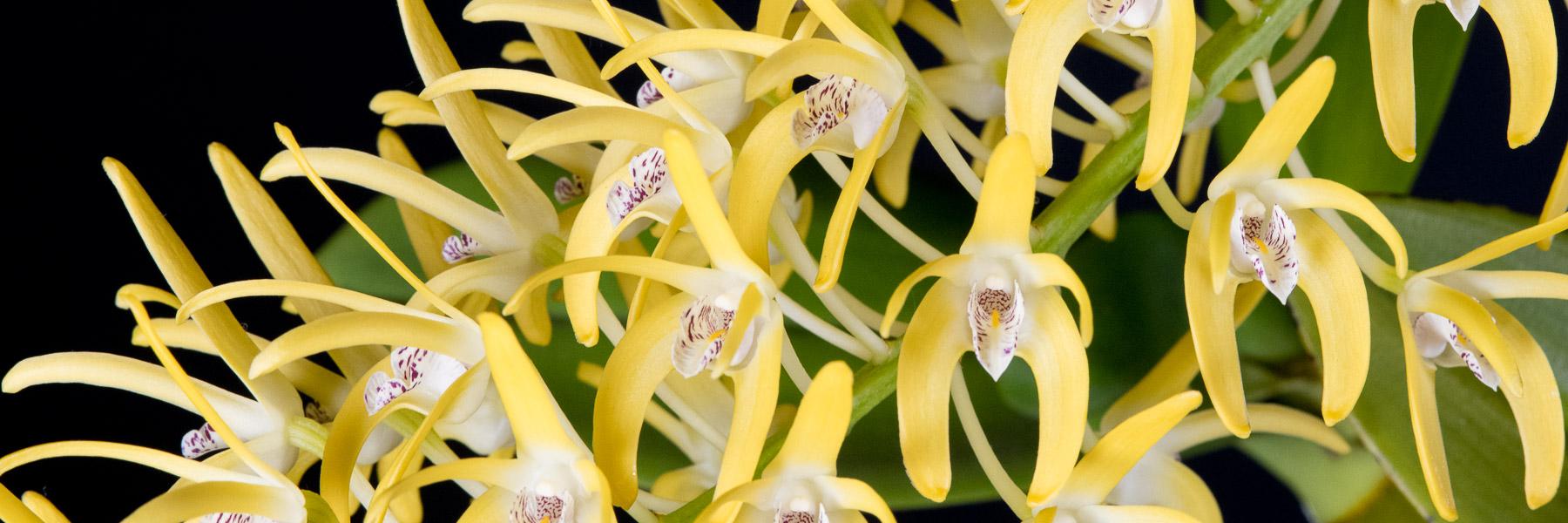 Australian Dendrobium